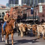 Cattle wranglers on horseback with long-horned bulls